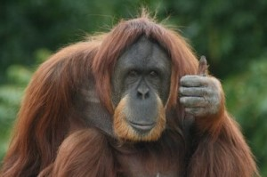 thumbs-up-orangutan